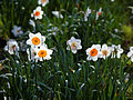 Capel Manor Gardens Enfield London England - Narcissus 01.jpg