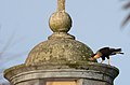 Caracara Quebrantahuesos, Crested Caracara, Caracara cheriway (11916305606).jpg