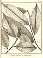 Caraipa 3. latifolia 4. angustifolia Aublet 1775 pl 224.jpg