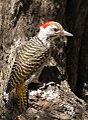 Cardinal Woodpecker - MALE, Dendropicos fuscescens at Pilanesberg National Park, Northwest Province, South Africa (14905331530).jpg