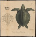 Caretta olivacea - 1700-1880 - Print - Iconographia Zoologica - Special Collections University of Amsterdam - UBA01 IZ11600243.tif