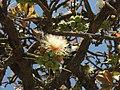 Careya Arborea015.jpg