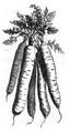 Carotte rouge longue sans cœur Vilmorin-Andrieux 1883.png