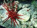 Carpilius convexus is consuming Heterocentrotus trigonarius in Hawaii 1.jpg