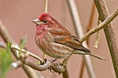Carpodacus purpureus male.jpg