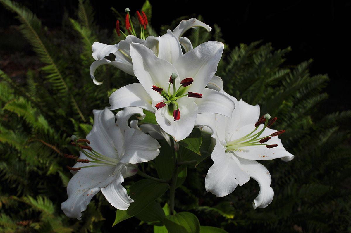 カサブランカ (植物) - Wikipedia