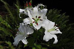 'Casa Blanca' lily; Oriental hybrid.