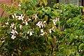 Casco de vaca (Bauhinia variegata) (14808478996).jpg