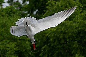 Caspian Tern Diving for Food Kings Forest Marsh, Red Hill Valley.jpg