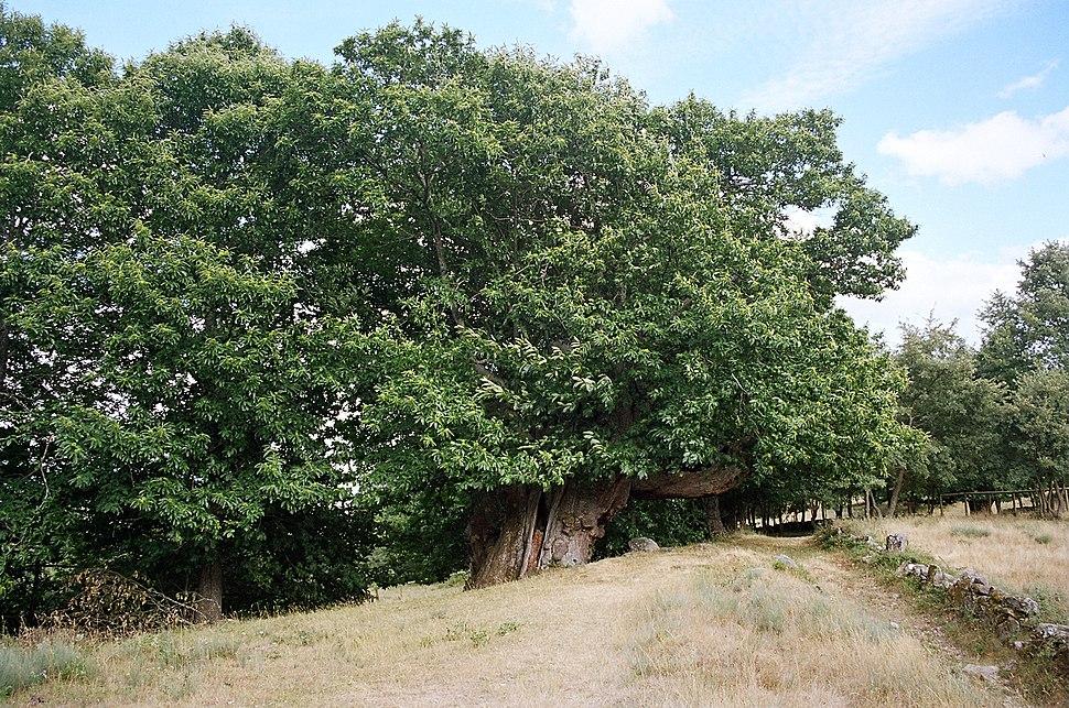 Castiñeiro de Pumbariños, calcúlase que ten máis de 1.000 anos de idade.