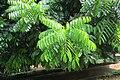 Castanospermum australe - Moreton Bay Chestnut - at Ooty 2014 (2).jpg