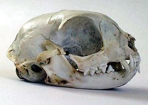 Cat - Cat skull