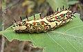 Caterpillar of Common Mime 01.JPG