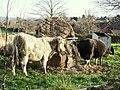 Cattle Feeding - geograph.org.uk - 1058256.jpg