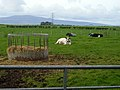 Cattle Near Maulscastle - geograph.org.uk - 565092.jpg