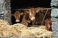 Cattle at Seathwaite Farm - geograph.org.uk - 1804355.jpg