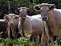 Cattle near Pitts Farm, Half Moon Common - geograph.org.uk - 455576.jpg