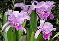 Cattleya trianae (14617919027).jpg