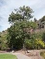 Ceiba speciosa - Jardín Botánico Canario Viera y Clavijo - Gran Canaria - 0.jpg