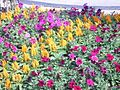Celosia and Petunia in a Flower bed.jpg