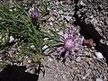 Centaurea linifolia maig i juny 2007 048.JPG
