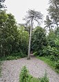 Centre tree - Sefton Coast Woodlands - Formby - panoramio.jpg
