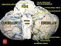 Cerebellum 4.jpg