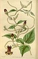 Ceropegia vincifolia Curtis Botanical Magazine vol.66 tab.3740.jpg