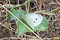 Cf. Small white (MakGi) (35063874613).jpg