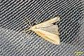 Cf. Straw grass-veneer (NH266) (11083805723).jpg
