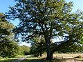 Chêne de l'allée du château du Moulin 3.JPG