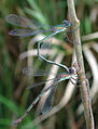 Chalcolestes viridis pairing 2425.jpg