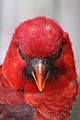 Chalcopsitta cardinalis -Cincinnati Zoo, Ohio, USA -head-8a (1).jpg