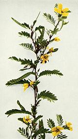 Chamaecrista fasciculata WFNY-105B.jpg