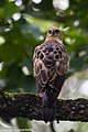 Changeable hawk-eagle or crested hawk-eagle (Nisaetus cirrhatus).jpg