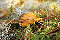 Chanterelle in the forest.JPG