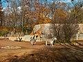 Chapman-Steppenzebras und Netzgriaffen (Zoo Dresden).jpg