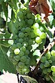 Chardonnay in Anderson Valley.jpg