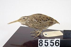 Chatham snipe - Chatham snipe (Coenocorypha pusilla) mounted skin