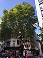Cheapside plane tree.jpg