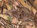 Chelepteryx collesi (41715891764).jpg