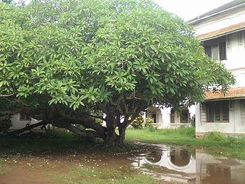 Chempaka after a rain, Vellayani.jpg