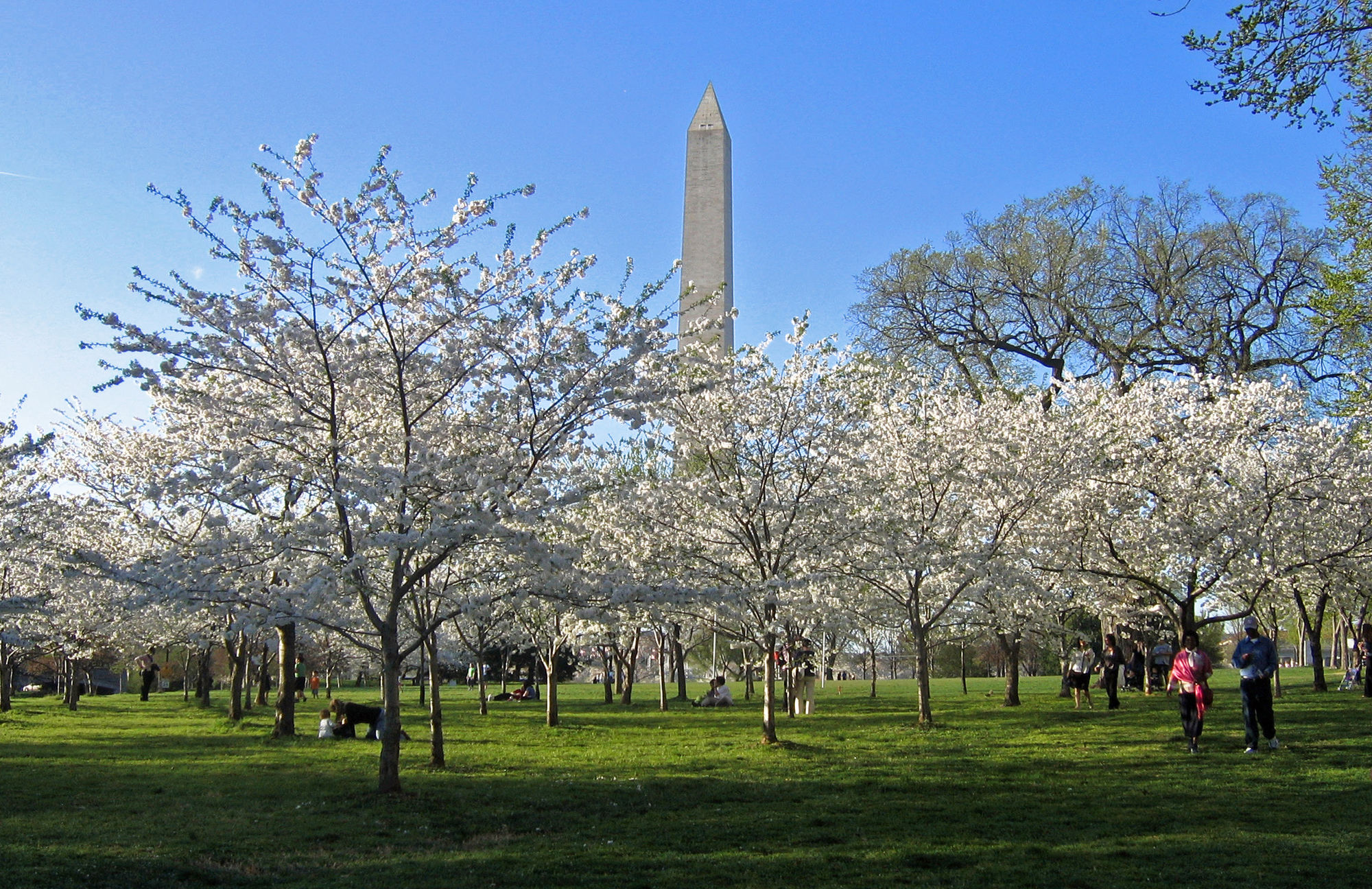 Cherry Blossoms and Washington Monument.jpg