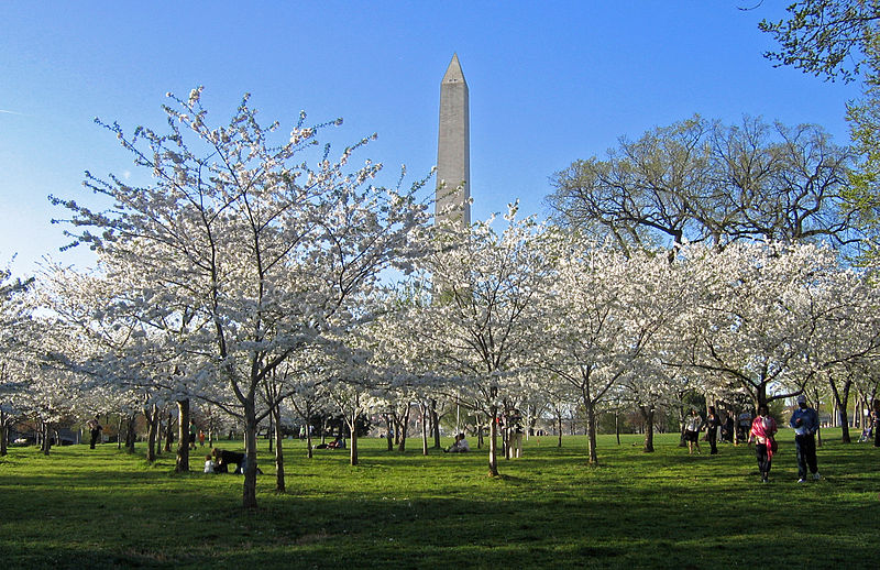 800px-Cherry_Blossoms_and_Washington_Monument.jpg