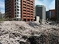Cherry blossom in Roppongi Hills Sakurazaka.jpg