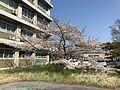 Cherry blossoms in Hakozaki Campus of Kyushu University 20170403.jpg
