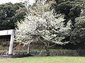 Cherry blossoms in Kameyama Park.jpg