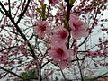 Cherry plant.jpg
