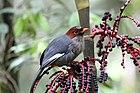 Фотография серой птицы с каштаново-коричневой головой и большой белой полосой на крыльях, сидящей среди зелени.