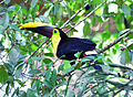 Chestnut-mandibled Toucan (7047641559).jpg